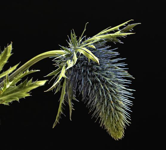 nature art,botanical art, photography, Thistle