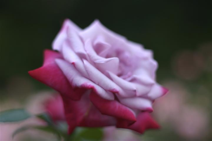 Original art for sale at UGallery.com | Soft Rose by Andrew Stein | $150 | photography | 24' h x 16' w | http://www.ugallery.com/photography-soft-rose-7889