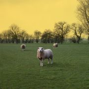 animals art,landscape art,photography,Sheep in Reer