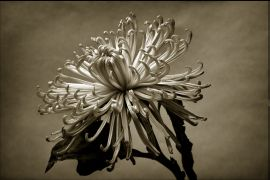 still life art,botanical art,photography,Exploding Into Light