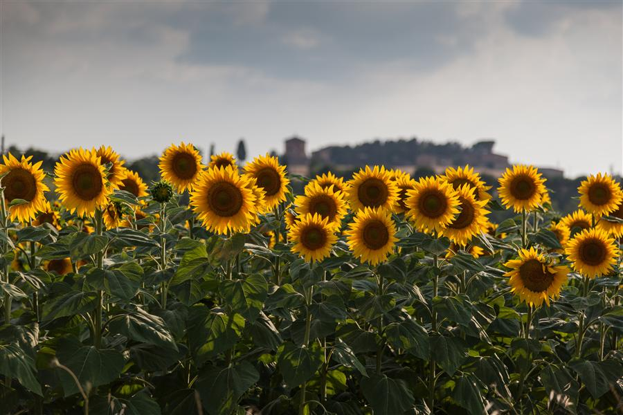 Original art for sale at UGallery.com | Tuscany Sunflowers, Italy by Mathew Lodge | $425 | photography | 36' h x 24' w | ..\art\photography-Tuscany-Sunflowers-Italy