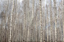 landscape art,nature art,botanical art,photography,Birch Grove