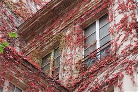 Architecture art,Flora art,City art,photography,Autumn Ivy in the Marais