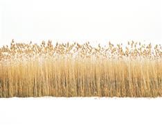 Landscape art,Nature art,photography,Reeds in Snow