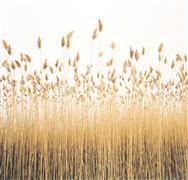 Nature art,Flora art,photography,Reeds