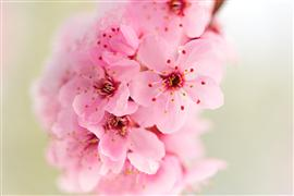 nature art,botanical art,photography,Cherry Blossoms dusted in Snow