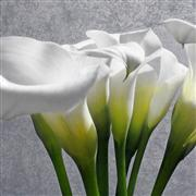 Still Life art,Flora art,photography,Calla Lily