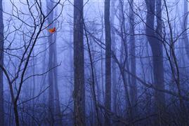 Animals art,Landscape art,Nature art,photography,Red Cardinal in a Blue Forest