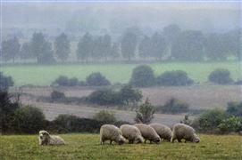 Animals art,Nature art,photography,Row of Sheep, East Anglia