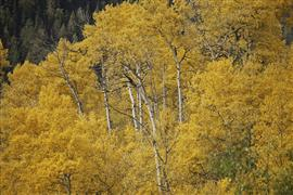Nature art,Flora art,photography,Rocky Mountain Aspens