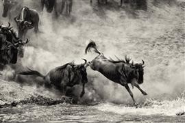 Animals art,Nature art,Representational art,photography,Wildebeest Crossing