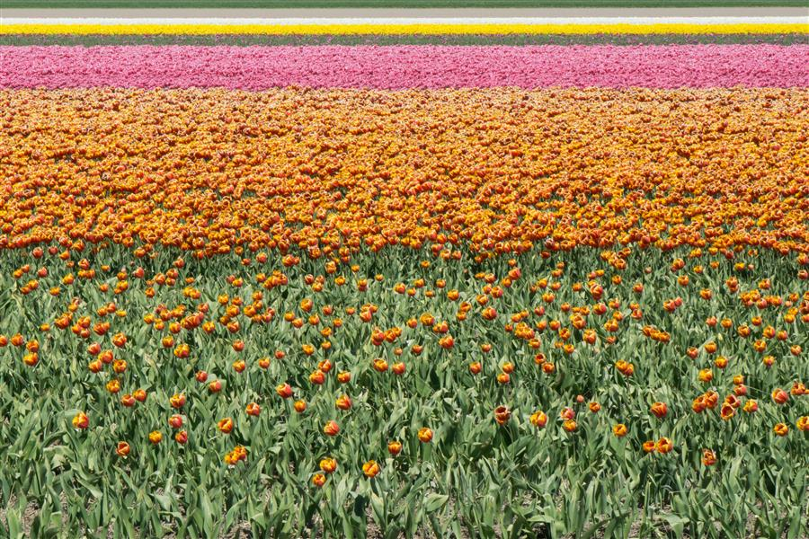 Original art for sale at UGallery.com | Tulip Fields #1 by Kimberly Poppe | $50 | photography | 15' h x 10' w | ..\art\photography-Tulip-Fields-1