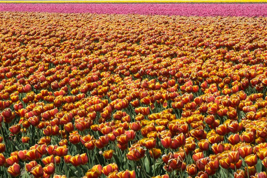 Original art for sale at UGallery.com | Tulip Fields #3 by Kimberly Poppe | $25 | photography | 15' h x 10' w | ..\art\photography-Tulip-Fields-3