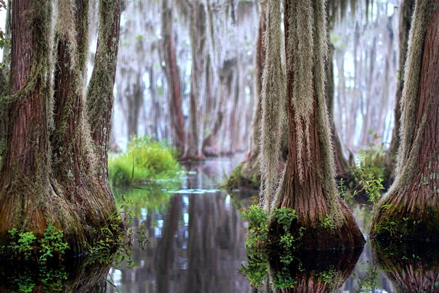 Original art for sale at UGallery.com | Daybreak Among the Cypress Trees by Noelle Visconti | $50 | photography | 15' h x 10' w | ..\art\photography-Daybreak-Among-the-Cypress-Trees