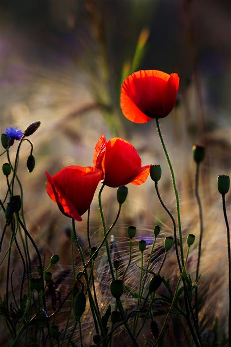 Red poppy flowers 2014 by michael lesiv photography ugallery mightylinksfo