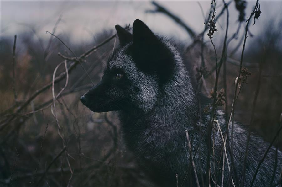Original art for sale at UGallery.com | Black Fox by Rachel Lauren | $25 | photography | 15' h x 10' w | ..\art\photography-Black-Fox