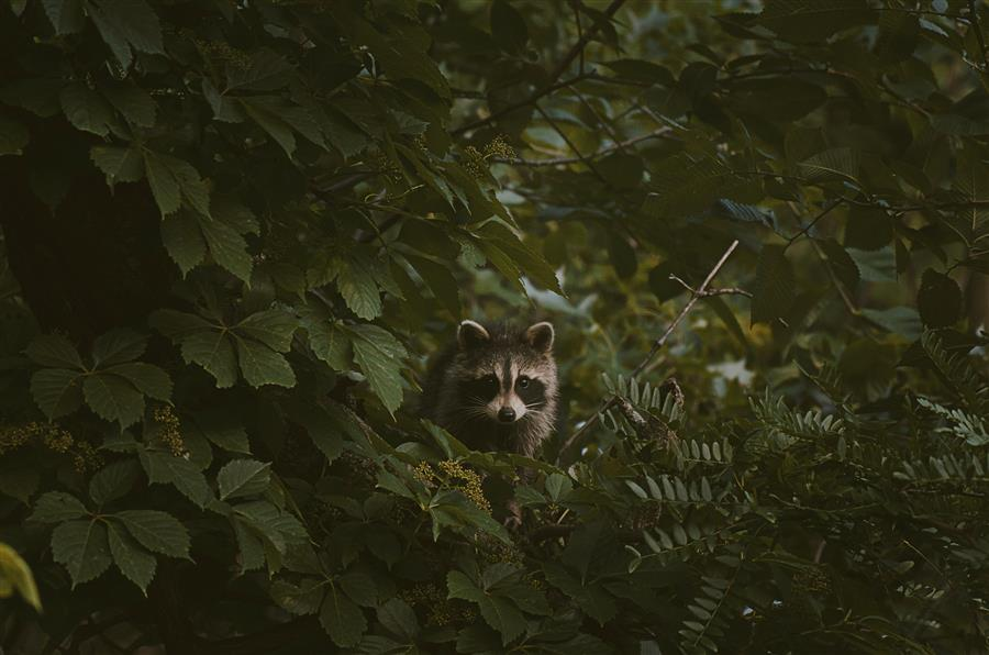 Original art for sale at UGallery.com | Baby Raccoon by Rachel Lauren | $50 | photography | 15' h x 10' w | ..\art\photography-Baby-Raccoon