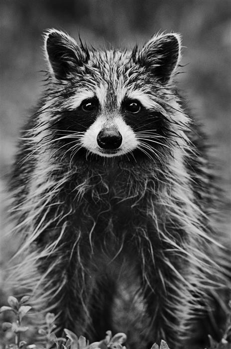 Original art for sale at UGallery.com | Raccoon Portrait by Rachel Lauren | $50 | photography | 15' h x 10' w | ..\art\photography-Raccoon-Portrait