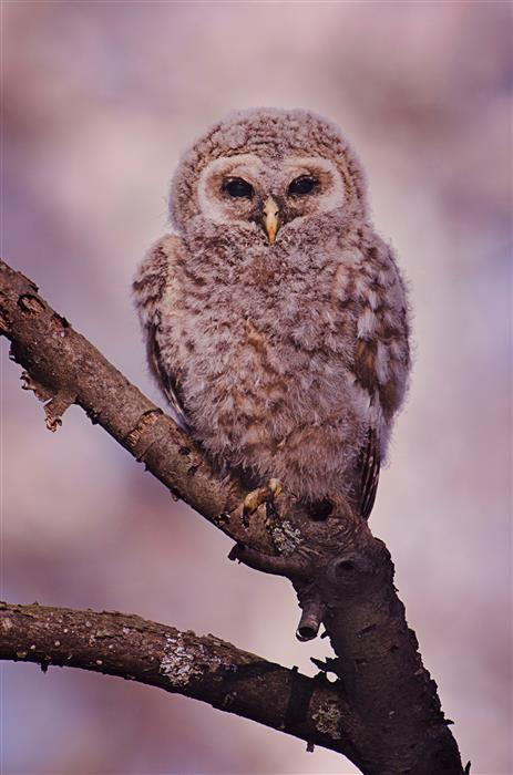 Original art for sale at UGallery.com | Juvenile Barred Owl by Rachel Lauren | $25 | photography | 15' h x 10' w | ..\art\photography-Juvenile-Barred-Owl