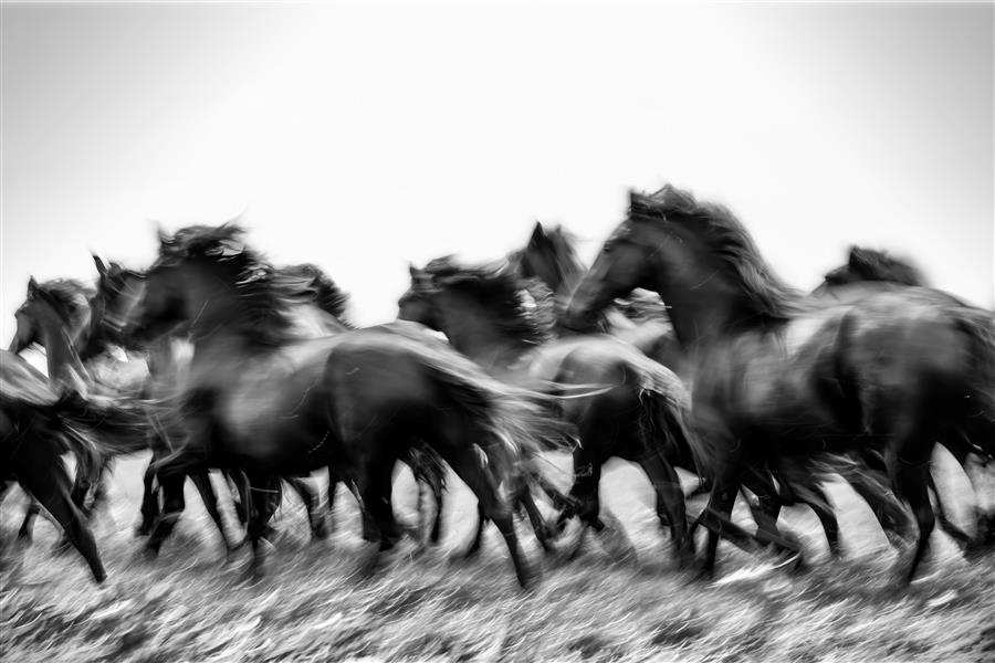 Original art for sale at UGallery.com | Young Friesians by Ida Kehoe | $25 | photography | 45' h x 30' w | ..\art\photography-Young-Friesians