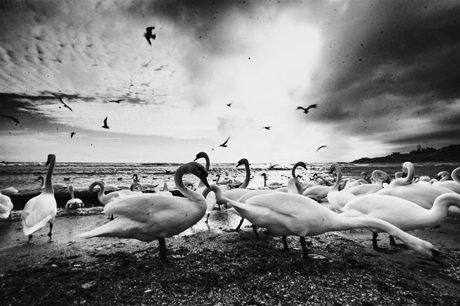 Original art for sale at UGallery.com | White Swans by Elena Raceala | $150 | photography | 18' h x 12' w | ..\art\photography-White-Swans