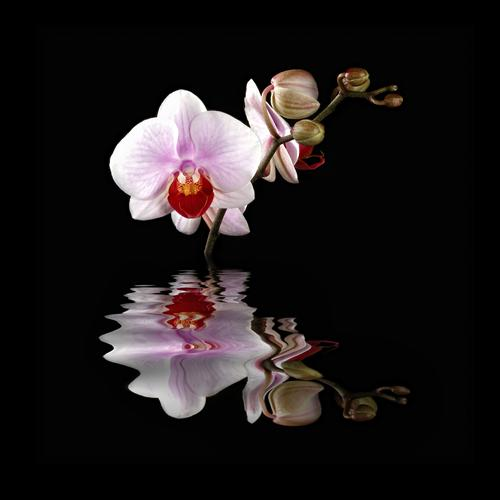 Original art for sale at UGallery.com | Orchid Reflection by DARRIN  VANGORDER | $185 |  | ' h x ' w | \art\photography-Orchid-Reflection
