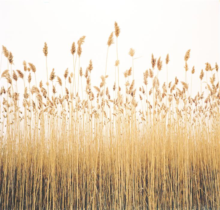 Original art for sale at UGallery.com | Reeds by MARK YAGGIE | $160 |  | ' h x ' w | \art\photography-Reeds