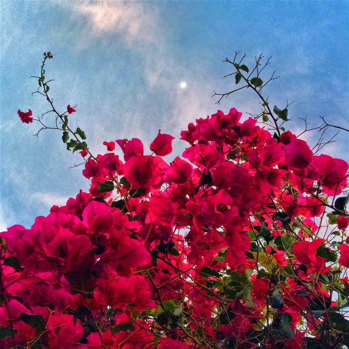 Original art for sale at UGallery.com | Bougainvillaea Reaching for the Moon by GREG DYRO | $120 |  | ' h x ' w | \art\photography-Bougainvillaea-Reaching-for-the-Moon