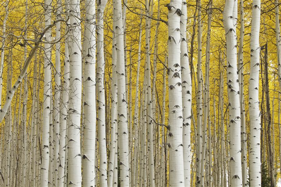 Original art for sale at UGallery.com | Aspen Glory by ABHI GANJU | $205 |  | ' h x ' w | \art\photography-Aspen-Glory