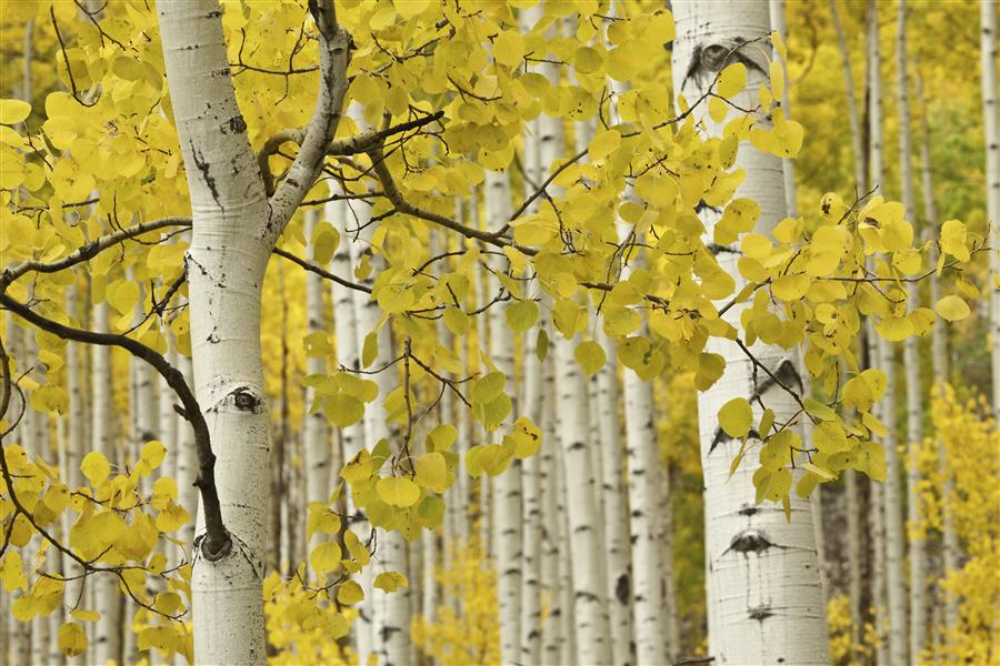Discover Original Art by Abhi Ganju | Fall Aspen Close-up photography | Art for Sale Online at UGallery