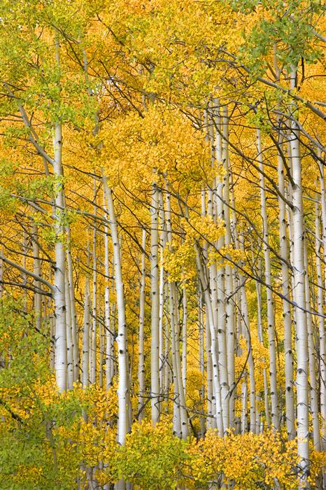 Discover Original Art by Abhi Ganju | Ohio Pass Aspens photography | Art for Sale Online at UGallery