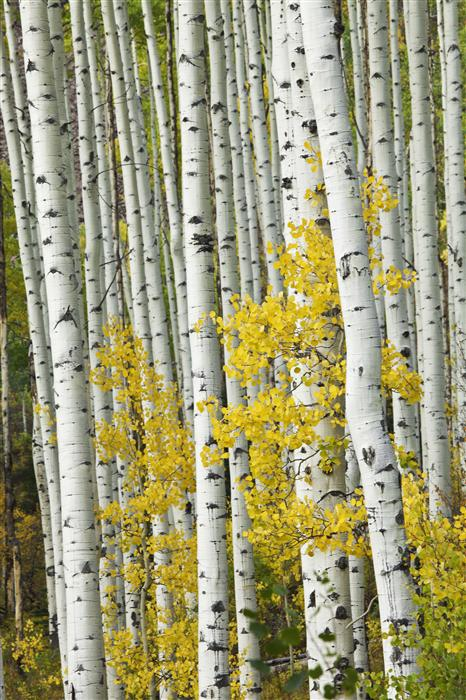 Original art for sale at UGallery.com | Castle Creek Aspens Vertical by ABHI GANJU | $195 |  | ' h x ' w | \art\photography-Castle-Creek-Aspens-Vertical