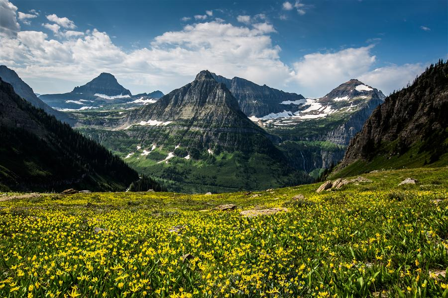 Original art for sale at UGallery.com | Glacier Lilies, Glacier National Park by JAY MOORE | $170 |  | ' h x ' w | \art\photography-Glacier-Lilies-Glacier-National-Park