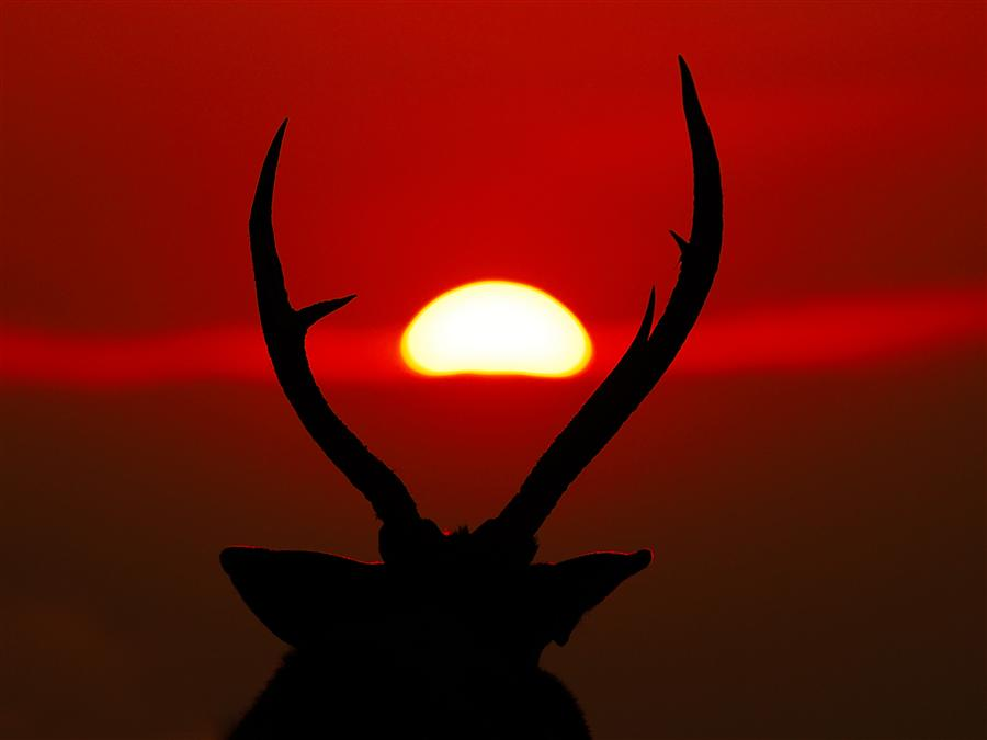 Discover Original Art by Amoghavarsha JS | Stag Looks at a Crimson Sunset photography | Art for Sale Online at UGallery