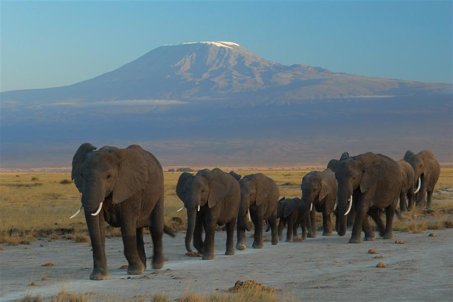 Discover Original Art by Amoghavarsha JS | Elephants against Kilimanjaro photography | Art for Sale Online at UGallery