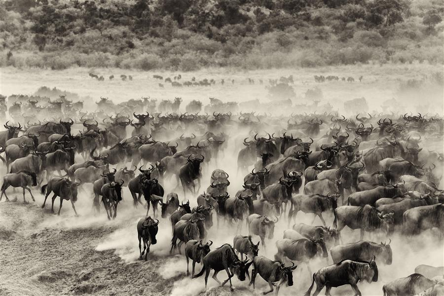 Original art for sale at UGallery.com | Wildebeest Migration by AMOGHAVARSHA JS | $295 |  | ' h x ' w | \art\photography-Wildebeest-Migration