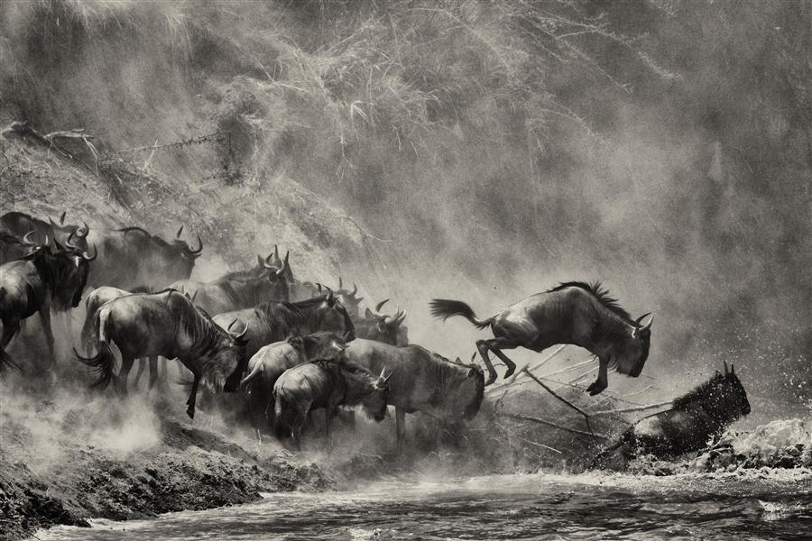 Discover Original Art by Amoghavarsha JS | Wildebeest Jumping photography | Art for Sale Online at UGallery