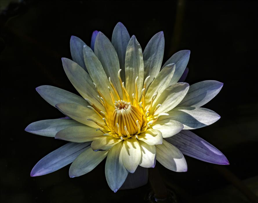 Discover Original Art by Robert Ullmann | Water Lily II photography | Art for Sale Online at UGallery