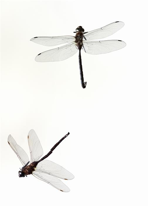 Original art for sale at UGallery.com | Dragonflies by KATHLEEN FINLAY | $195 |  | ' h x ' w | \art\photography-Dragonflies