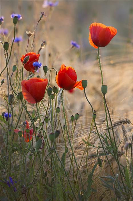 Original art for sale at UGallery.com | Poppies and Cornflowers by TARAS LESIV | $220 |  | ' h x ' w | \art\photography-Poppies-and-Cornflowers