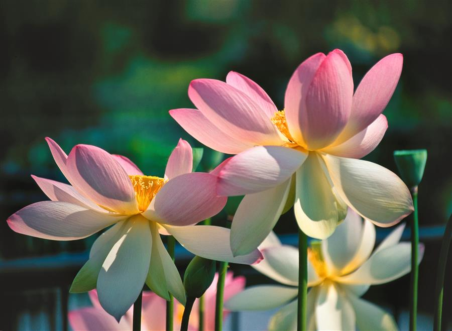 Original art for sale at UGallery.com | Lotuses by ABHI GANJU | $170 |  | ' h x ' w | \art\photography-Lotuses