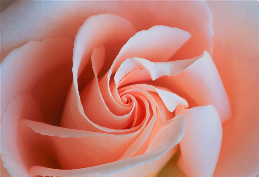 Original art for sale at UGallery.com | Rose Spiral by ABHI GANJU | $170 |  | ' h x ' w | \art\photography-Rose-Spiral