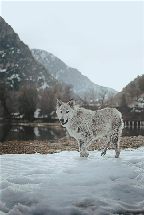 Original art for sale at UGallery.com | Mountain Wolf by RACHEL LAUREN | $170 |  | ' h x ' w | \art\photography-Mountain-Wolf