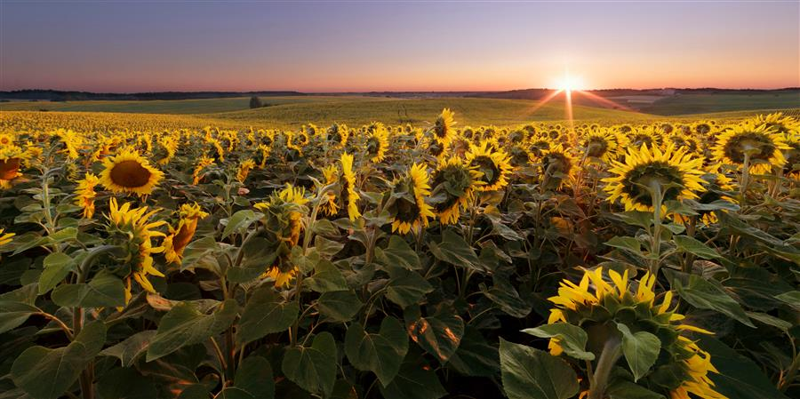Original art for sale at UGallery.com | Sunflower Field at Summer Sunrise by TARAS LESIV | $220 |  | ' h x ' w | \art\photography-Sunflower-Field-at-Summer-Sunrise