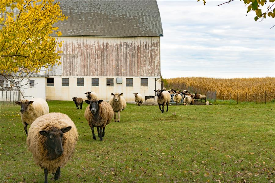 Original art for sale at UGallery.com | Counting Sheep by LORIANNE ENDE | $145 |  | ' h x ' w | \art\photography-Counting-Sheep