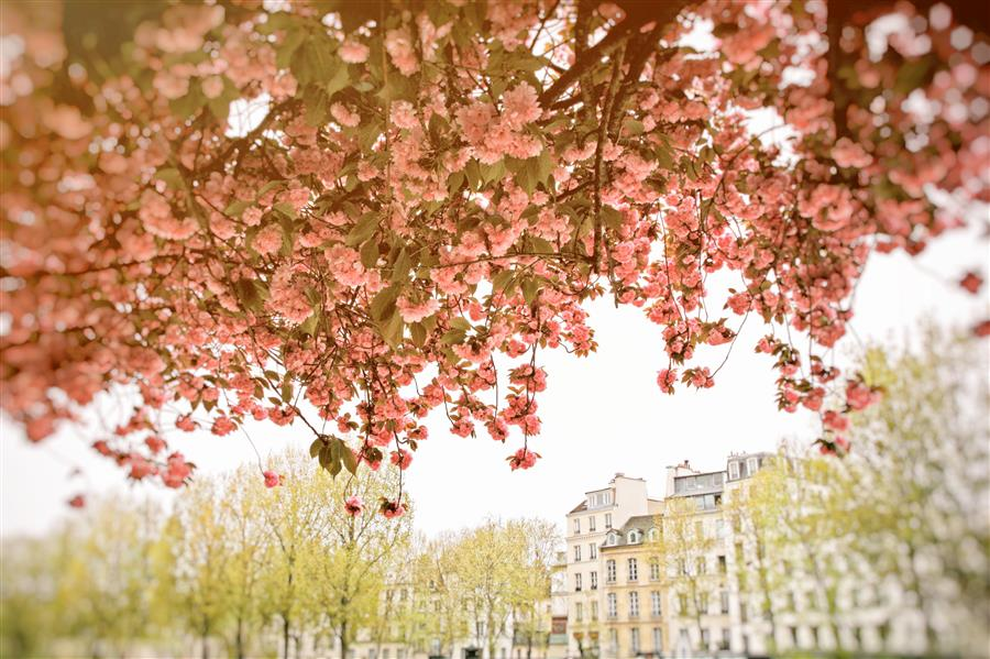 Original art for sale at UGallery.com | Spring Blossoms in Paris by CARINA OKULA | $170 |  | ' h x ' w | \art\photography-Spring-Blossoms-in-Paris