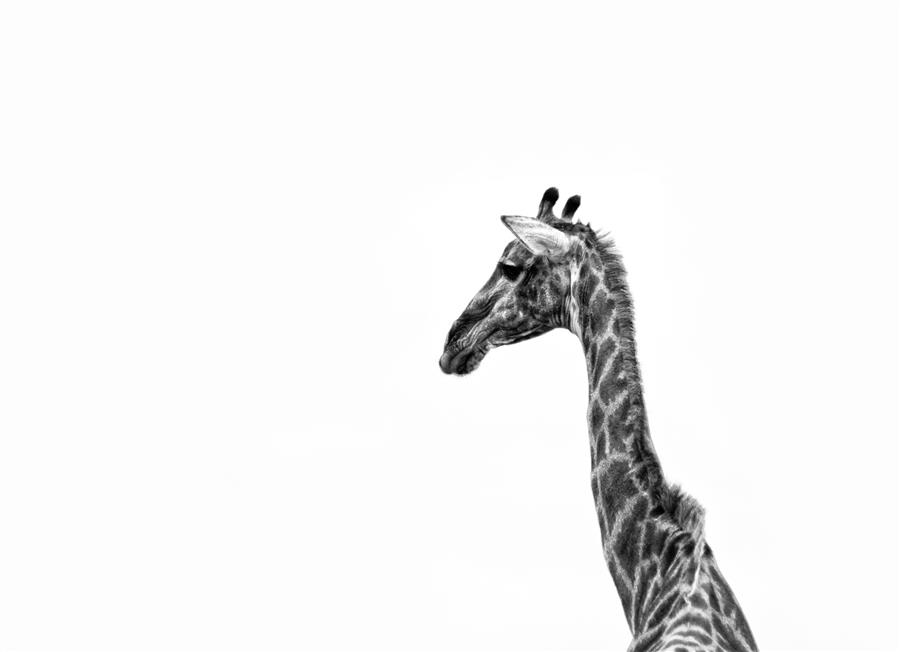 Original art for sale at UGallery.com | Modern Giraffe by MARK FRIEDMAN | $220 |  | ' h x ' w | \art\photography-Modern-Giraffe