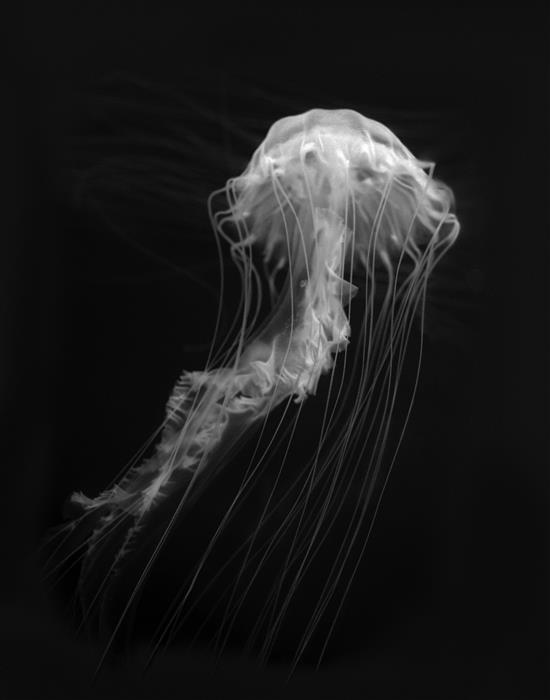 Discover Original Art by Kenneth Cooke | Sea Nettle Series No.1 photography | Art for Sale Online at UGallery