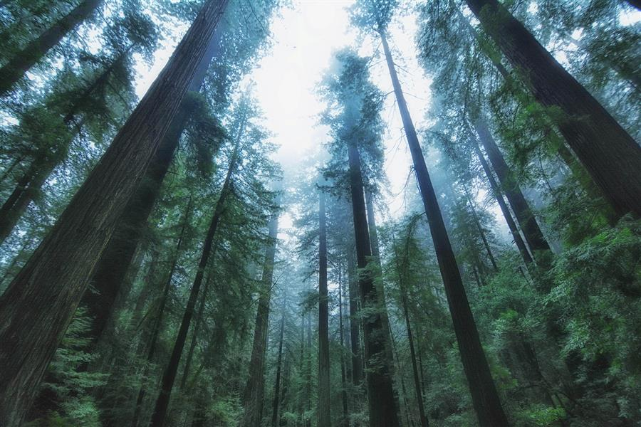 Original art for sale at UGallery.com | Humboldt Redwoods II by EMILY  KENT | $195 |  | ' h x ' w | \art\photography-Humboldt-Redwoods-II