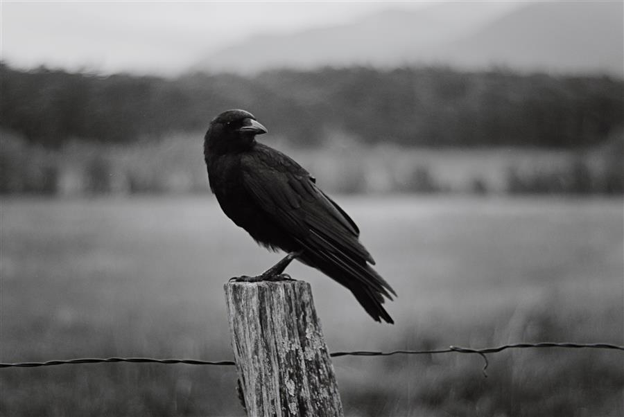Original art for sale at UGallery.com | Raven by RACHEL LAUREN | $220 |  | ' h x ' w | \art\photography-Raven